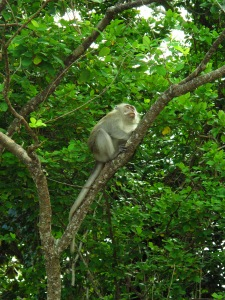Ini dia si monyet pencuri